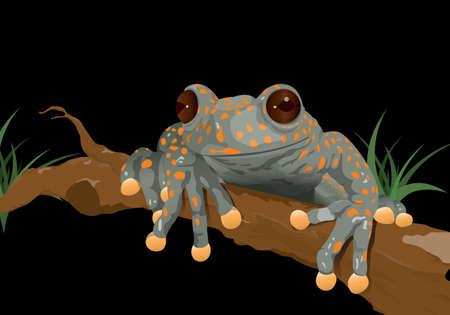 Frog (Hyloscirtus pantostictus) on black background - Vector image