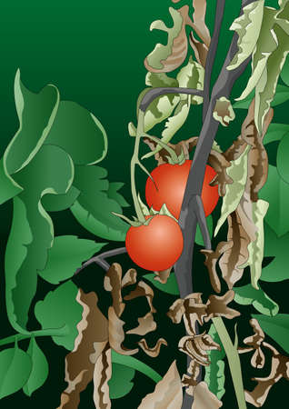 fungicide: Tomato plant with stems affected by bacteria - Vector image