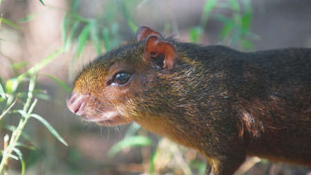 agouti: Approach to Black Agouti in the jungle. Common names: Agouti or black aguta. Scientific name: Sooty Dasyprocta Stock Photo