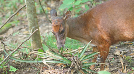 White-tailed deer eating a bromeliad in the jungle