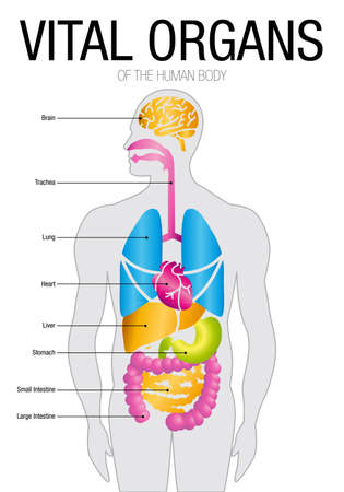 Chart of VITAL ORGANS With parts name. Size: 21cm x 30cm - Vector image