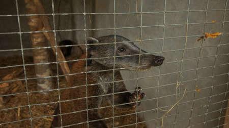 South American coati or ring-tailed coati inside a cage in Ecuadorian amazon. Common names: Cuchucho. Scientific name: Nasua nasua