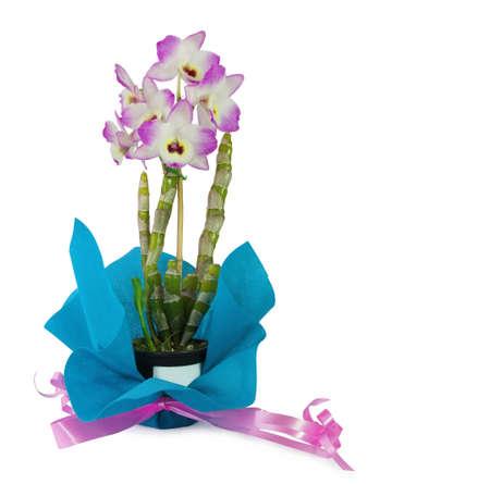 Dendrobium Orchid inside a black pot with violet bow on white background Foto de archivo