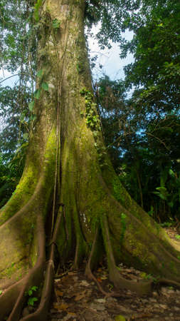 Approach to a centenary giant tree of HIGUERON, in the middle of the forest in the Ecuadorian Amazon region. Scientific name: Ficus maxima Stock Photo