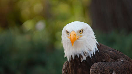 Approach to the head of an Bald Eagle seen from front looking towards the camera with background of unfocused trees. Scientific name: Haliaeetus leucocephalus Stock Photo