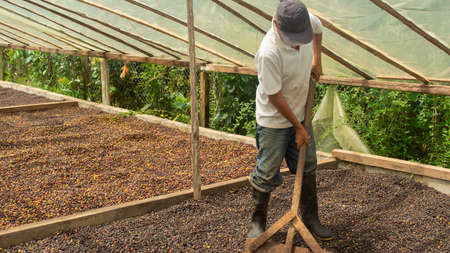 Lago Agrio, Sucumbios / Ecuador - September 2 2020: Farmer with shovel working inside a wooden greenhouse to dry coffee spreading the coffee beans
