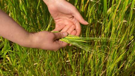 Close up on woman's hands holding a group of freshly plucked green wheat ears on wheat crop background