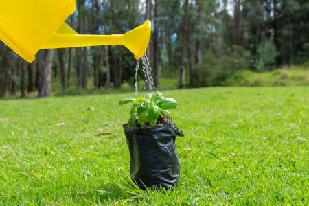 Yellow watering can watering a small plant inside a black plastic before being planted in a field surrounded by trees in the morning