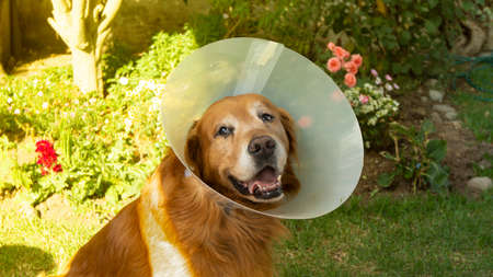 Portrait of an injured Golden Retriever dog with a plastic cone on his neck so that he does not hurt himself in the garden of his house during sunset