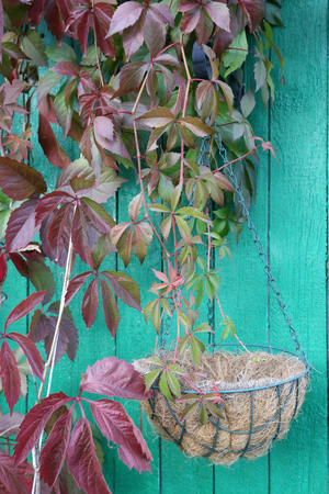 climbing plant: climbing plant with flowerpot against a green wooden wall Stock Photo