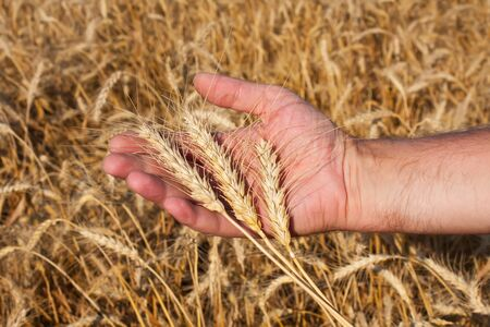 farmer holding a three spikelets of wheat against the background of the field photo