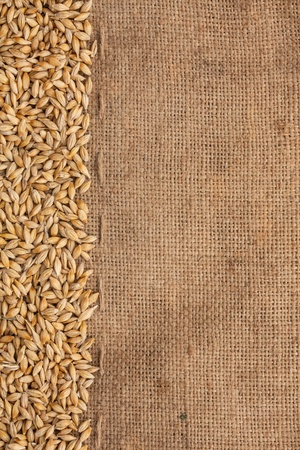 Barley is on burlap can be used as background photo