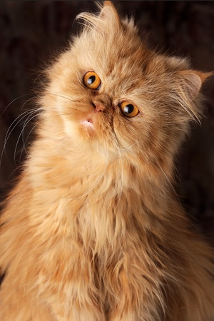 surprised Persian cat on a dark background photo