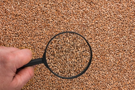 Human hand holding a magnifying glass over the wheat can be used as background photo