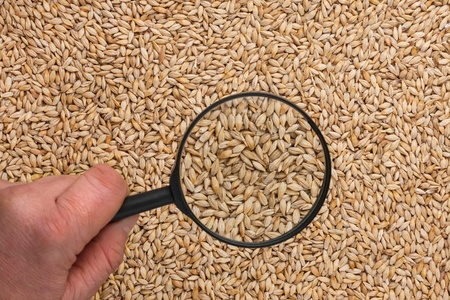 Human hand holding a magnifying glass over the barley can be used as background photo