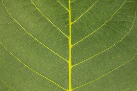 Close-up of a walnut leaf. As a background, texture Stock Photo
