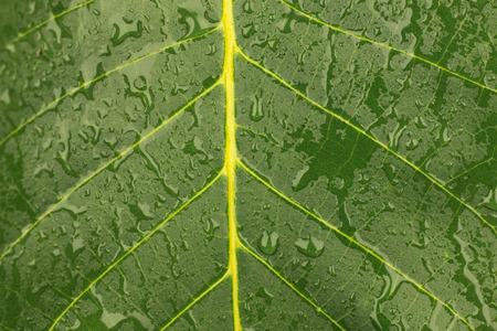 Close-up of a walnut leaf in raindrops. As a background, texture Stock Photo