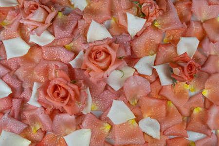 Roses lying on petals in dew drops. Flowers background. Top view Banco de Imagens