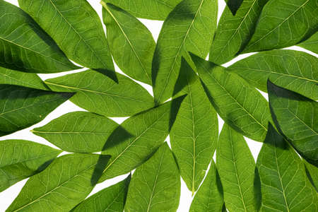Fresh leaves on a white background. Leaves are transparent with veins. Leaves background