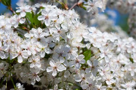 Blooming cherry, spring flowering in nature. Close-up