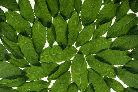 Fresh mint leaves on a white background. Leaves are transparent with veins. Mint leaves background