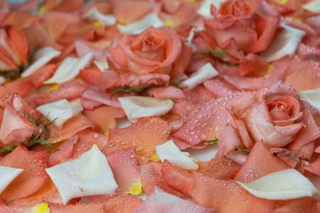 Close-up, fresh roses lying on petals in dew drops. Flowers background. Shallow depth of field