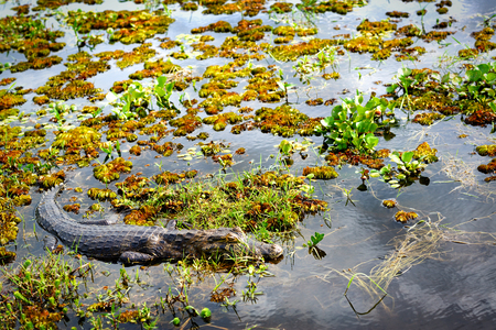 Yacare caiman (Caiman Yacare), Wetlands in Nature Reserve Esteros del Ibera, Colonia Carlos Pellegrini, Corrientes, Argentina.