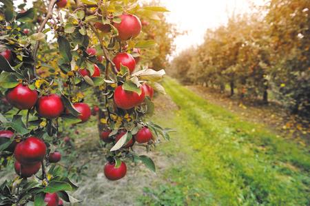 Organische Äpfel hängen von einem Baum Zweig in einem Apfel Obstgarten Standard-Bild