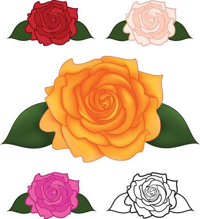 orange rose: Vector illustration of flower rose in different colors Illustration