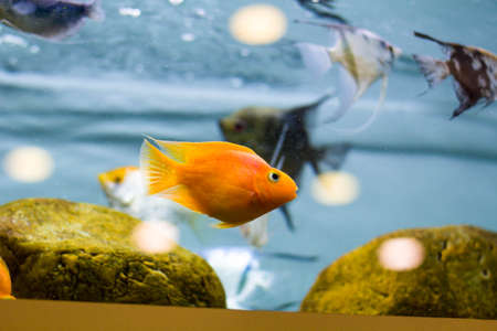 Decorative fish in the aquarium. Angelfish and Goldfish 스톡 콘텐츠