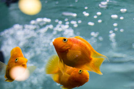 Decorative fish in the aquarium. Angelfish and Goldfish.