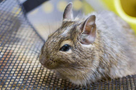 squirrel degu close up. animal hamster, squirrel degu