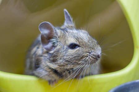 squirrel degu close up. animal hamster, squirrel degu