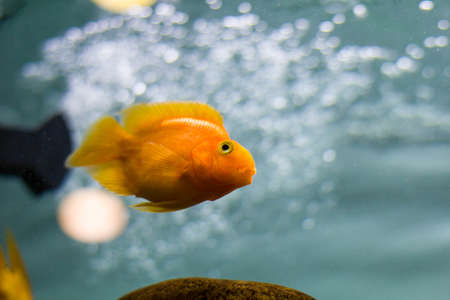Golden fish in aquarium close up