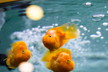 Aquarium with goldfish. Three goldfish in an aquarium close-up. 스톡 콘텐츠