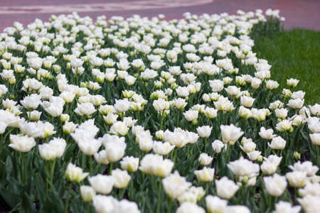 Beautiful white tulips in the flowerbed