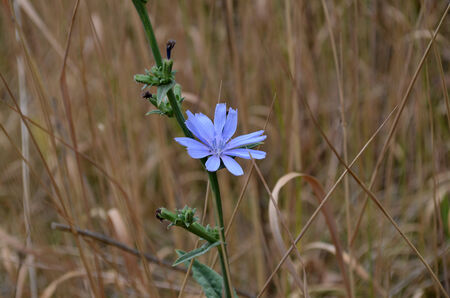 inulin: Blue flower on a background of dry yellow grass  Cichorium intybis Stock Photo