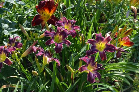 increased: Purple and red flowers of daylilies in garden, Hemerocallis Increased Complexity and Ruby Spider