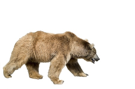kodiak: Brown bear-is isolated on the white