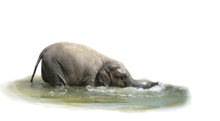 The elephant calf bathes in water-is isolated on the white Stock Photo