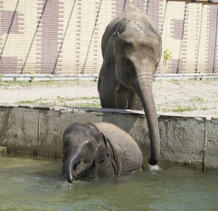 The elephant cow bathes the elephant calf Stock Photo