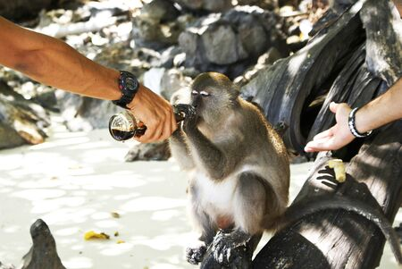 The monkey drinks a drink from a bottle, from hands of the person Stock Photo