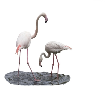 The flamingo looks after a female izolated in white background