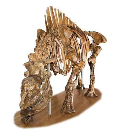 aciculum: Unique in the world a skeleton of a unicorn  Elasmotherium caucasicum  - age of 1,4 million years-is isolated on the white