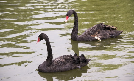 Wounded black swan in a pond with a friend photo