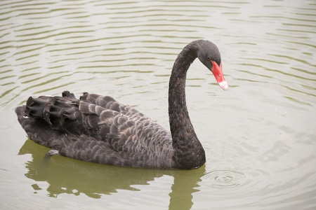 Black swan in a pond photo