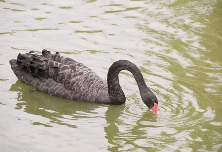 Black Swan feeding in a pond photo