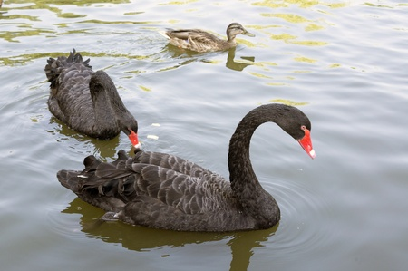 A pair of black swans feeding in zoo photo
