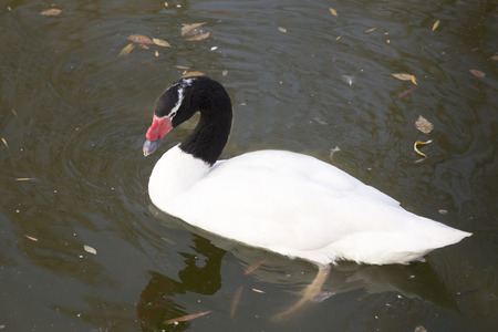 necked: Black necked  swan in the autumn lake