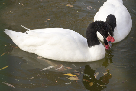 Pair of black necked  swans in the autumn lake photo